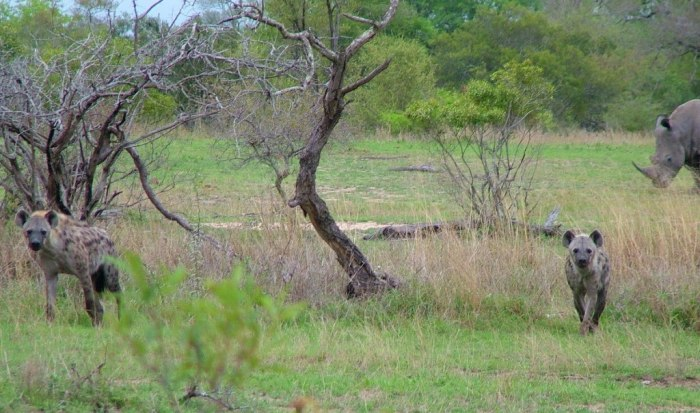 rhinos and hyenas on armed safari, kruger national park, south africa, pic 10