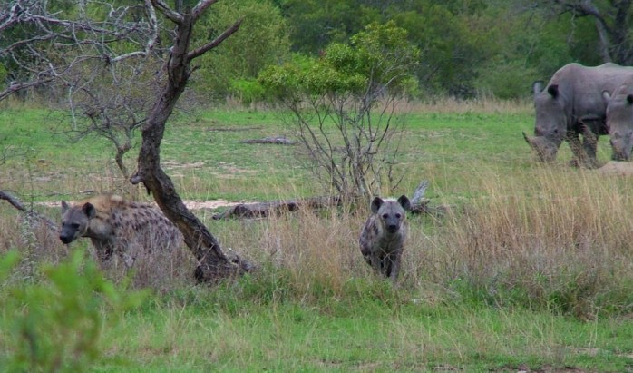 rhinos and hyenas on armed safari, kruger national park, south africa, pic 9