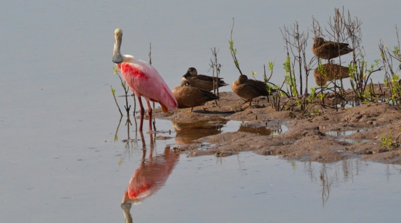 A Roseate spoonbill among ducks at the San Blas shrimp ponds in Mexico.