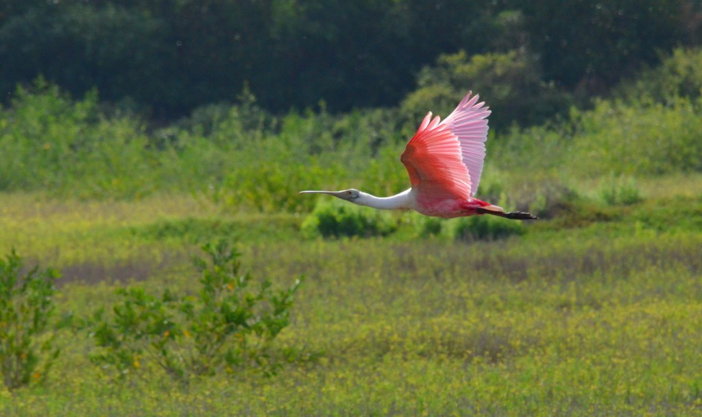 photograph of a Roseate Spoonbill in flight at the shrimp ponds in San Blas, Mexico