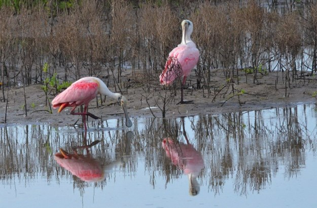 Two roseate spoonbills along the shore in San Blas, Mexico