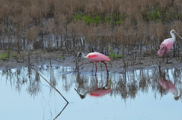 Two Roseate spoonbills fishing in the shrimp ponds at San Blas, Mexico
