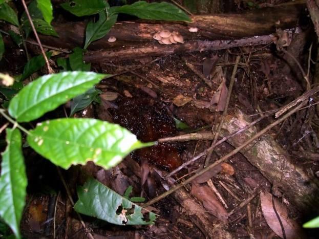 Tree sap on the forest floor at Sandoval Lake Lodge, Lake Sandoval, Amazon Delta, Peru