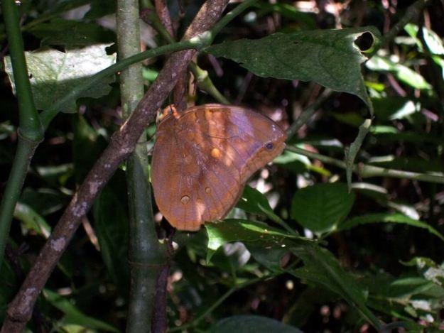 Berecynthia Giant Owl Butterfly at Sandoval Lake Lodge, Lake Sandoval, Amazon Delta, Peru