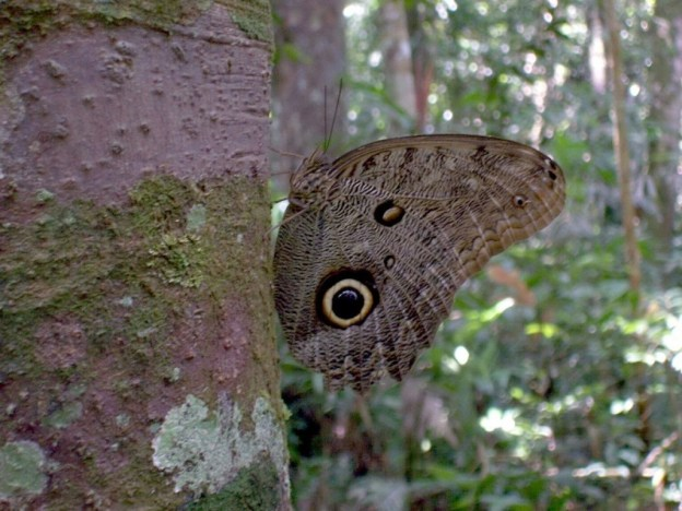 Forest Giant Owl butterfly at Sandoval Lake Lodge, Lake Sandoval, Amazon Delta, Peru