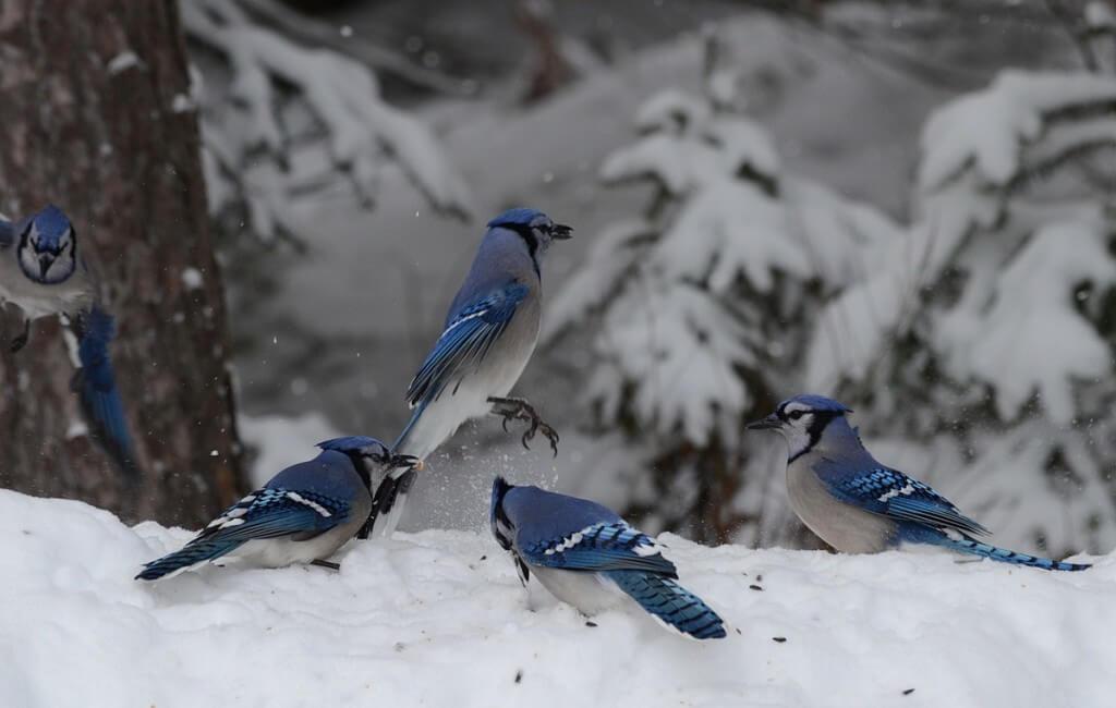 bluejays in algonquin park, ontario, pic 3
