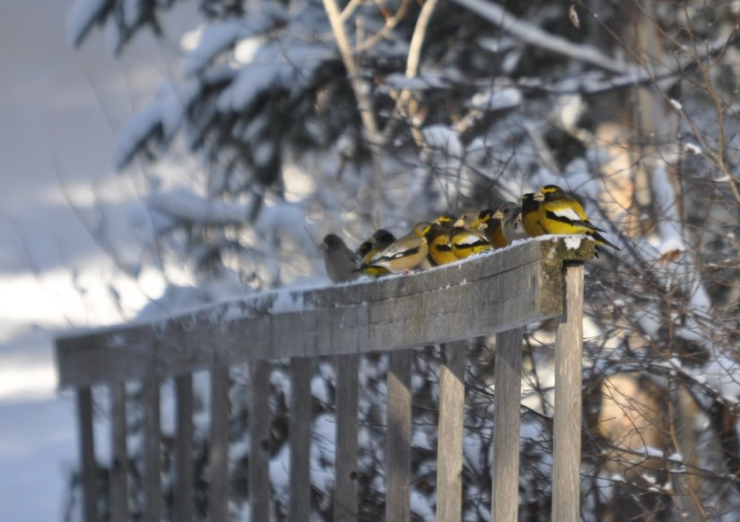 Image of Evening grosbeaks in the winter in Algonquin Park, in Ontario
