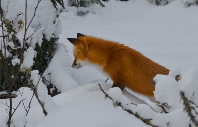 Red fox searches for prey under trees in Algonquin Park in Ontario, Canada
