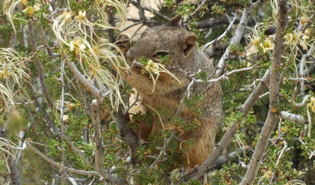 Rock squirrel eating in a bush at Grand Canyon National Park, Arizona, U.S.A.