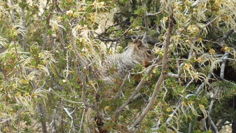 Rock squirrel sitting in a bush at Grand Canyon National Park, Arizona, U.S.A.