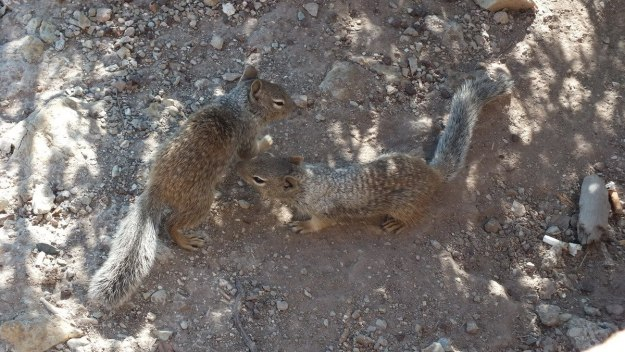 Rock squirrels on the ground at Grand Canyon National Park, Arizona, U.S.A.