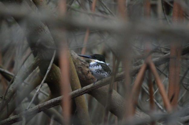 Green Kingfisher female 1, mangrove swamp, san blas, nayarit, mexico