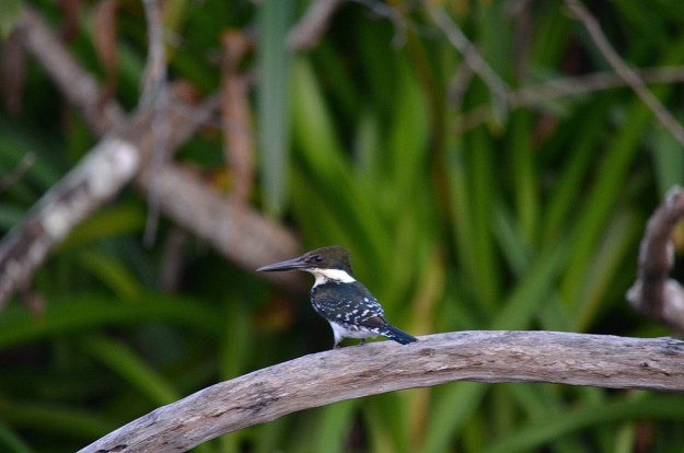 Green Kingfisher female 2, mangrove swamp, san blas, nayarit, mexico