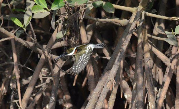 Green Kingfisher, male, mangrove swamp, san blas, mexico , pic 6