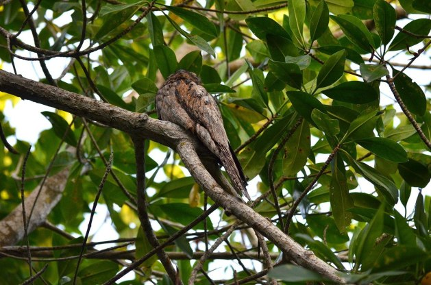 Northern Potoo, mangrove swamp, san blas, nayarit, mexico, pic 14