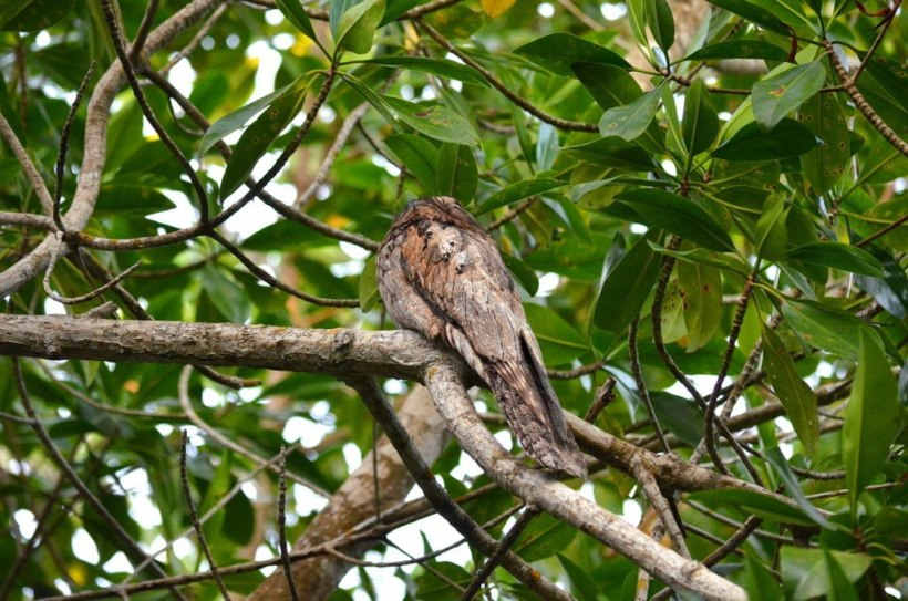 Northern Potoo, mangrove swamp, san blas, nayarit, mexico, pic 9
