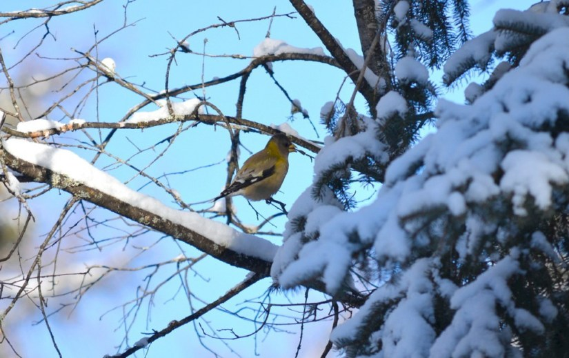evening grosbeak in algonquin park, ontario, pic 15
