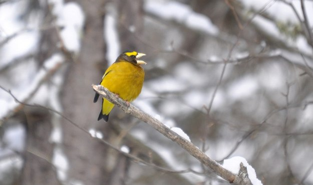 Image of an Evening grosbeak sings out in Algonquin Park, Ontario