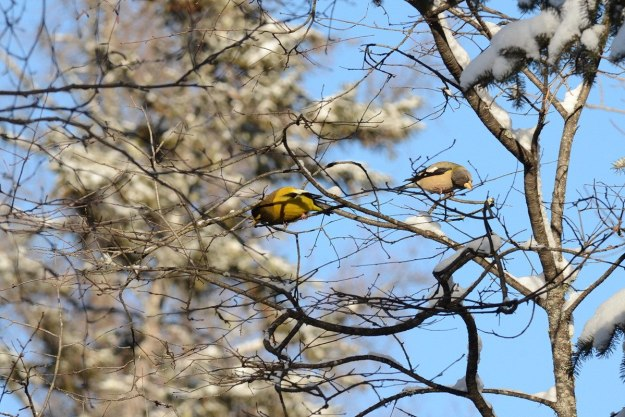 evening grosbeaks in algonquin park, ontario, pic 12