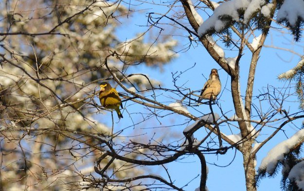 evening grosbeaks in algonquin park, ontario, pic 14