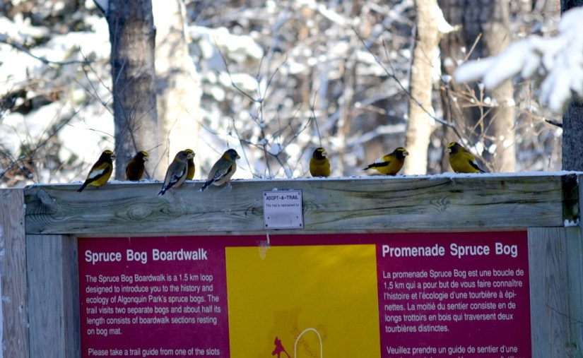 Image of Evening grosbeaks along the Spruce Bog Trail in Algonquin Park, Ontario
