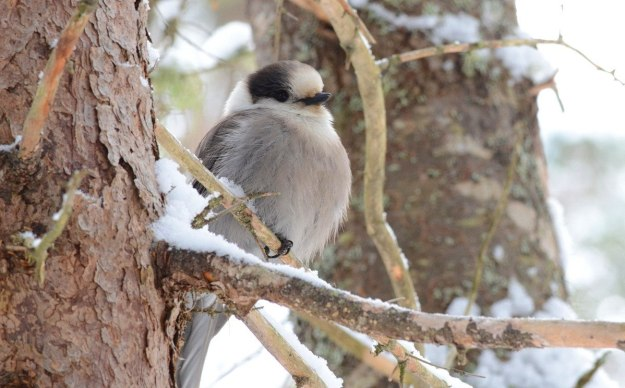 Gray jay along the Spruce Bog Trail in Algonquin Park, Ontario