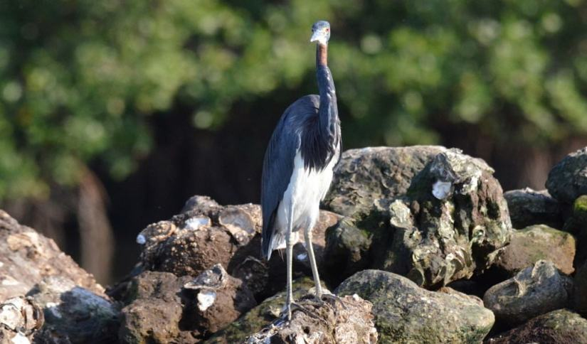 tri-colored heron, mangrove swamp, san blas, mexico, pic 12