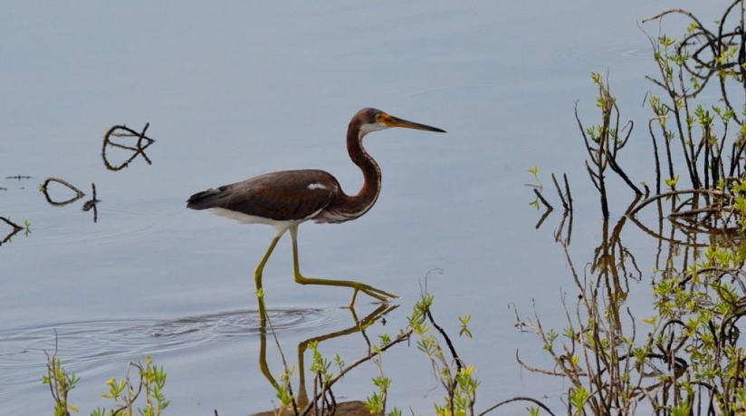 tri-colored heron, shrimp ponds, san blas, mexico, pic 2