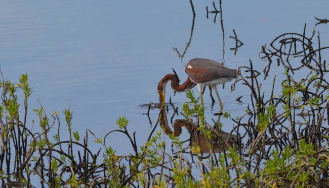 tri-colored heron, shrimp ponds, san blas, mexico, pic 6