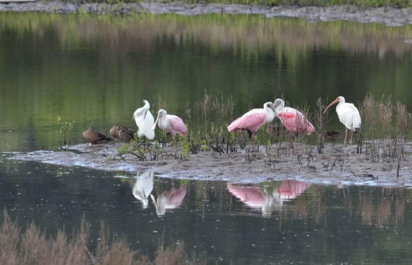 white ibis among birds at shrimp ponds, san blas, mexico, pic 4