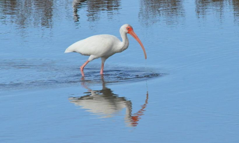 white ibis at shrimp ponds, san blas, mexico, pic 2