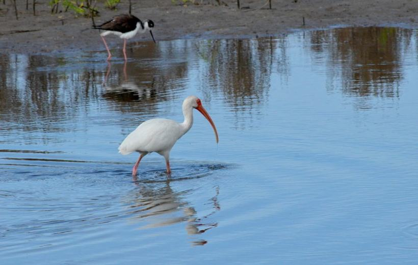 white ibis at shrimp ponds, san blas, mexico, pic 3