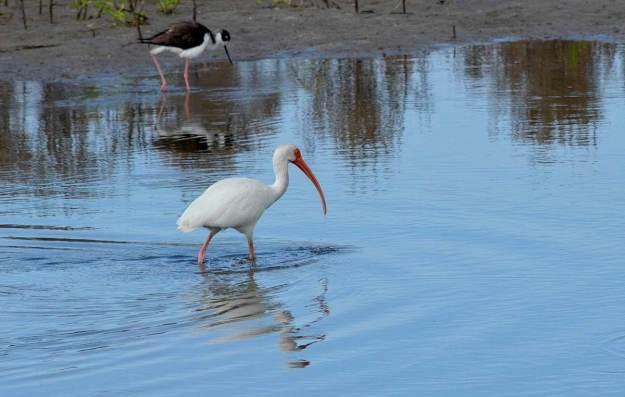 white ibis at shrimp ponds, san blas, mexico, pic 3