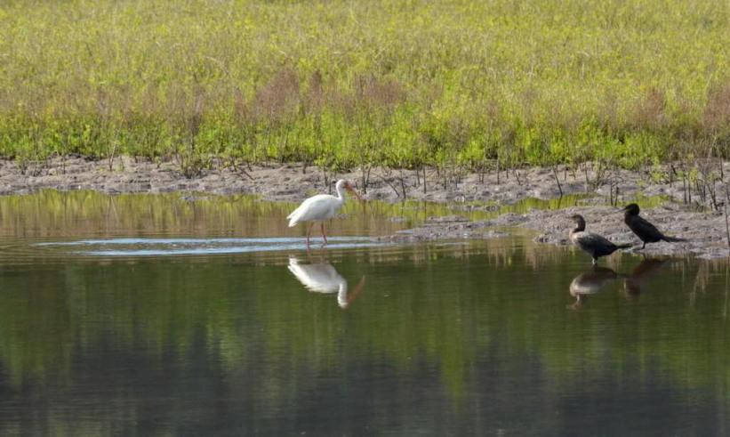 white ibis at shrimp ponds, san blas, mexico, pic 5