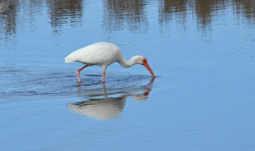 white ibis at shrimp ponds, san blas, mexico, pic 6