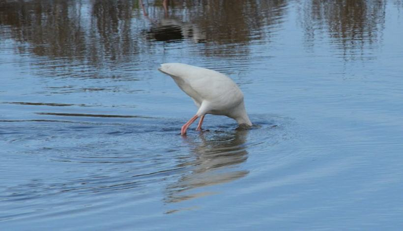 white ibis at shrimp ponds, san blas, mexico, pic 7