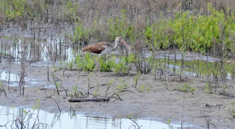 white ibis, juvenile, san blas, shrimp ponds, mexico pic 4