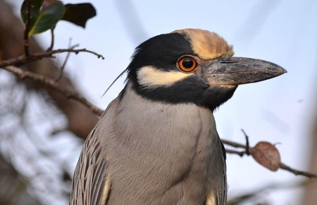 Yellow-crowned Night Heron, mangrove swamp, san blas, nayarit, mexico, pic 19