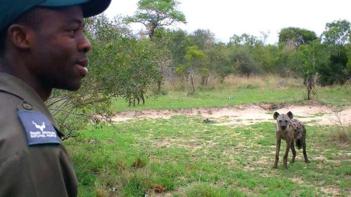 hyena on armed safari, kruger national park, south africa, 3