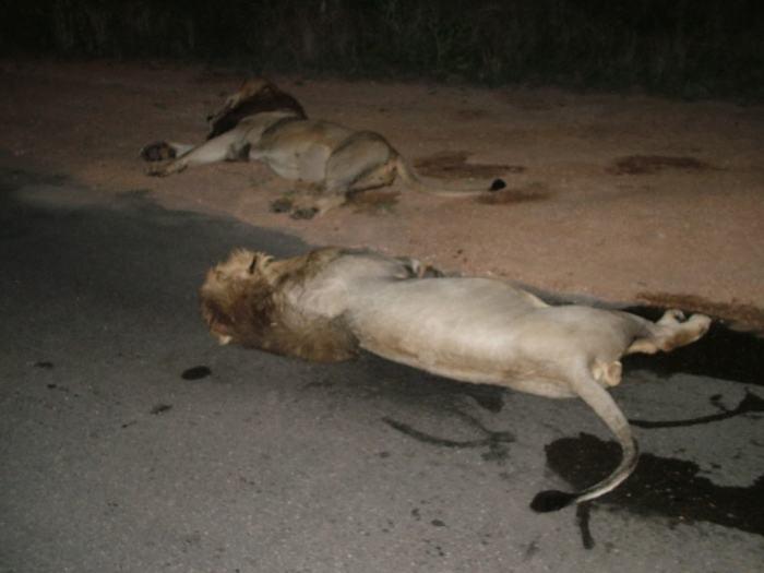lions along road at kruger national park, south africa