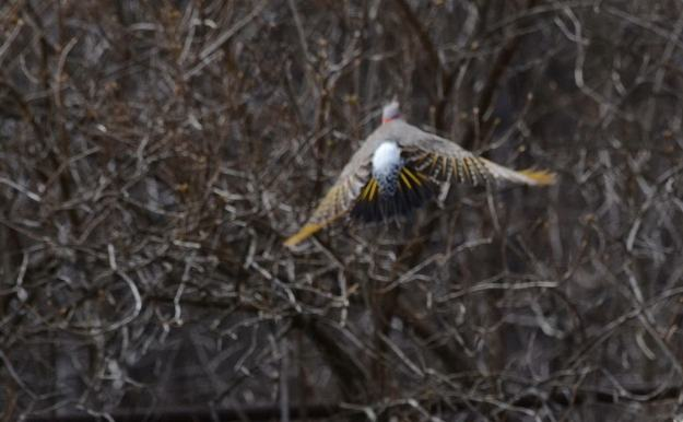 Image of a Northern flicker in flight to trees near Algonquin Park, Ontario