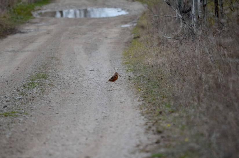american woodcock, carden alvar, city of kawartha lakes, ontario