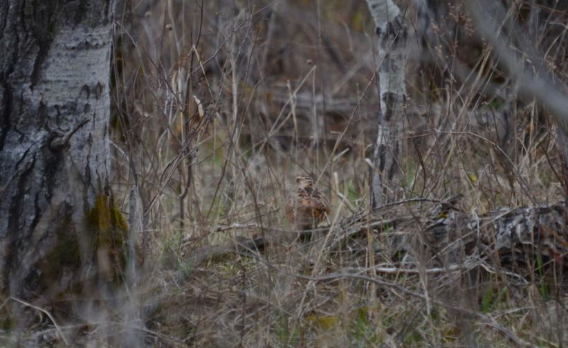 american woodcock in forest, carden alvar, city of kawartha lakes, ontario,