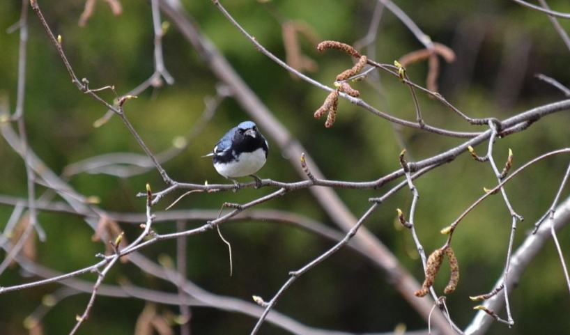 black-throated blue warbler, male, toronto, pic 2
