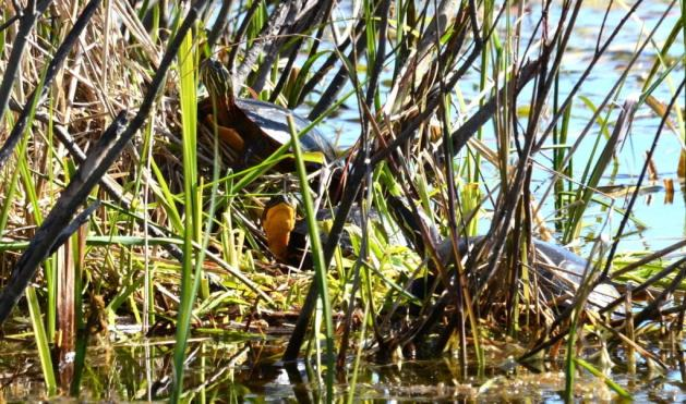 blandings turtle, carden alvar, city of kawartha lakes, ontario, pic 2