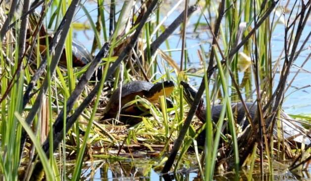 blandings turtle, carden alvar, city of kawartha lakes, ontario, pic 3