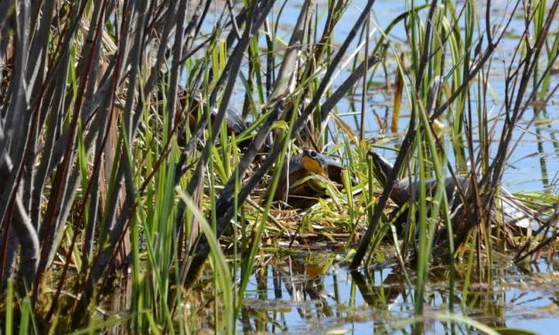 blandings turtle, carden alvar, city of kawartha lakes, ontario, pic 4