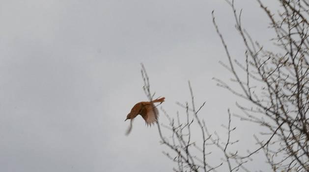 brown thrasher, carden alvar, city of kawartha lakes, ontario, pic 2