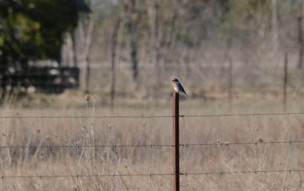 eastern bluebird, carden alvar, carden township, city of kawartha lakes, ontario, pic 2