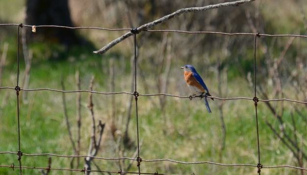 eastern bluebird, carden alvar, carden township, city of kawartha lakes, ontario, pic 6